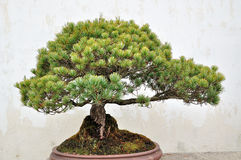 Bonsai in Humble Administrator's Garden Stock Image