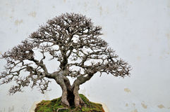 Bonsai in Humble Administrator's Garden Royalty Free Stock Images