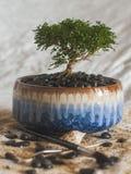 Bonsai i färgrik kruka royaltyfria foton