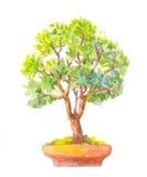 Bonsai illustration. Watercolor illustration of bonsai. Royalty Free Stock Photos