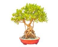 Bonsai isolate white background Royalty Free Stock Image