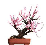 Bonsai isolated Royalty Free Stock Photo