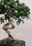 Bonsai. Isolated bonsai in clay pot Royalty Free Stock Image