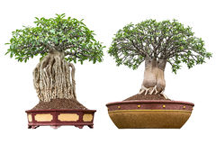 Bonsai isolated Royalty Free Stock Images