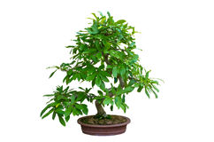Bonsai isolated on white background Stock Image