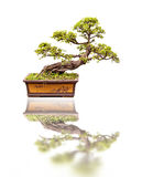 Bonsai, isolated on white Stock Photo
