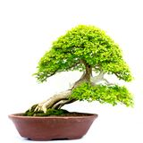 bonsai isolerade treen Royaltyfria Bilder