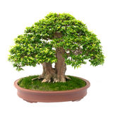 bonsai isolerade treewhite Royaltyfri Bild