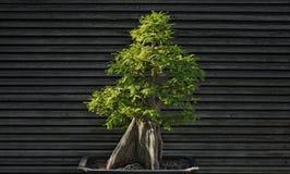 Bonsai jałowa drzewo Obrazy Royalty Free
