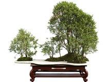 bonsai jałowiec Obraz Royalty Free