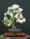 bonsai jabłkowy kraba zdjęcia stock