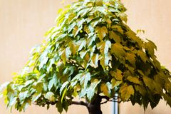 Bonsai Japanese maple tree at a show at the Frederik Meijer gardens in Grand Rapids Michigan stock photos