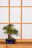 Bonsai in japanese room Stock Images