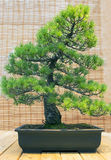Bonsai. Japanese white pine Age about 70 years.ars. Royalty Free Stock Photo