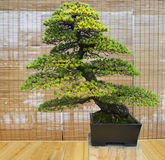 Bonsai. Japanese white pine Age about 100 years. Royalty Free Stock Photography