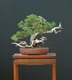 bonsai juniper sabina Στοκ εικόνα με δικαίωμα ελεύθερης χρήσης