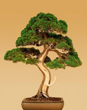 Bonsai. Juniper tree on colored background Royalty Free Stock Photos
