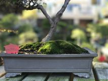 Bonsai Juniper Tree with Moss stock images