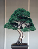 Bonsai juniperus chinensis. Beautiful old bonsai tree juniperus chinensis in japanese ambience Stock Photo