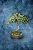 Bonsai Knowledge Wisdom Tree. A bonsai tree in a pot on a painted canvas background Stock Photo