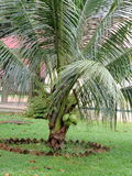 Bonsai-Kokosnussbaum Stockbild