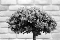 Bonsai krzak w szarości brzmieniu Zdjęcia Royalty Free