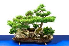 Bonsai kształtują teren z cyprysu i boxwood drzewami Zdjęcia Stock