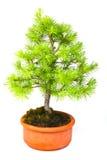 Bonsai Larch Royalty Free Stock Image
