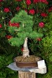 Bonsai larch Stock Photography