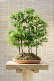 Bonsai larch trees Royalty Free Stock Image