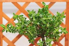 Bonsai-Laub lizenzfreie stockfotos