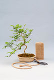 Bonsai on a light gray background. Bonsai with scissors and twine. Homemade plant on a gray background. Stock Photography