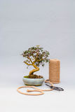 Bonsai on a light gray background. Bonsai with scissors and twine. Homemade plant on a gray background. Stock Photo
