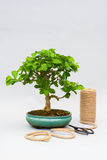 Bonsai on a light gray background. Bonsai with scissors and twine. Homemade plant on a gray background. Royalty Free Stock Photography
