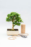 Bonsai on a light gray background. Bonsai with scissors and twine. Homemade plant on a gray background. Stock Photos