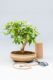 Bonsai on a light gray background. Bonsai with scissors and twine. Homemade plant on a gray background. Royalty Free Stock Photos