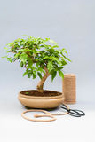 Bonsai on a light gray background with scissors to care for indoor plants. Royalty Free Stock Images