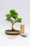 Bonsai on a light gray background with scissors to care for indoor plants. Stock Photography