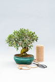 Bonsai on a light gray background with scissors to care for indoor plants. Stock Photos