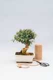 Bonsai on a light gray background with scissors to care for indoor plants. Stock Images