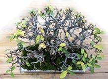 Bonsai Ligustrum japonicum. Bonsai Prickly Japanese Ligustrum japonicum is about thirty years old.  Old quality bonsai presentation the japanese gardening Royalty Free Stock Image