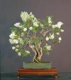 Bonsai lilla, bonsai di fioritura Fotografia Stock