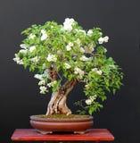 Bonsai lilla nel blom Fotografie Stock Libere da Diritti