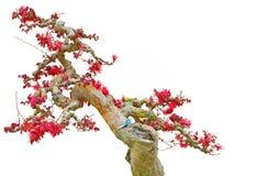 Bonsai loropetalum drzewny chinense lub chińczyka krana kwiat Zdjęcia Stock