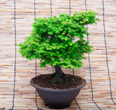 Bonsai on makisu background Stock Photos