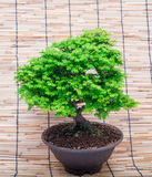 Bonsai on makisu background Royalty Free Stock Images