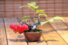 Bonsai Malus domestica - apple tree with red apples in pot Stock Image