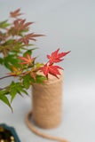Bonsai maple with red and yellow leaves on light gray background. Royalty Free Stock Photos