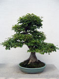 Bonsai Maple tree. Green Bonsai Maple tree in ceramic pot shot in Chinese Garden Stock Image