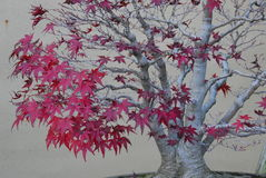Bonsai maple tree in autumn foliage Stock Photo